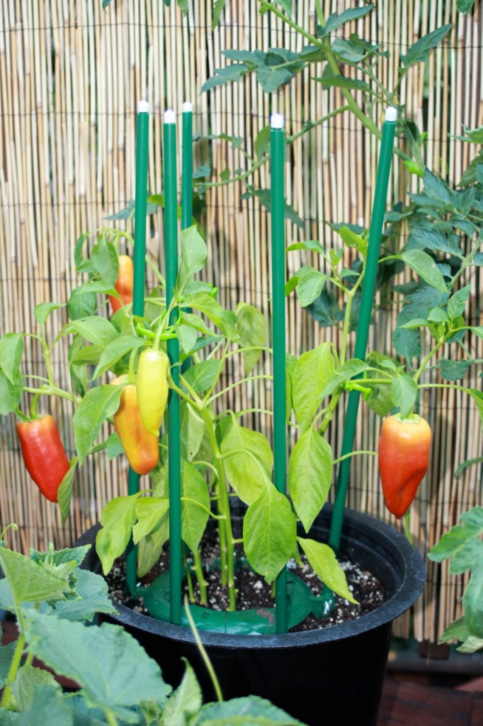 How To Grow Peppers Global Garden Friends Inc
