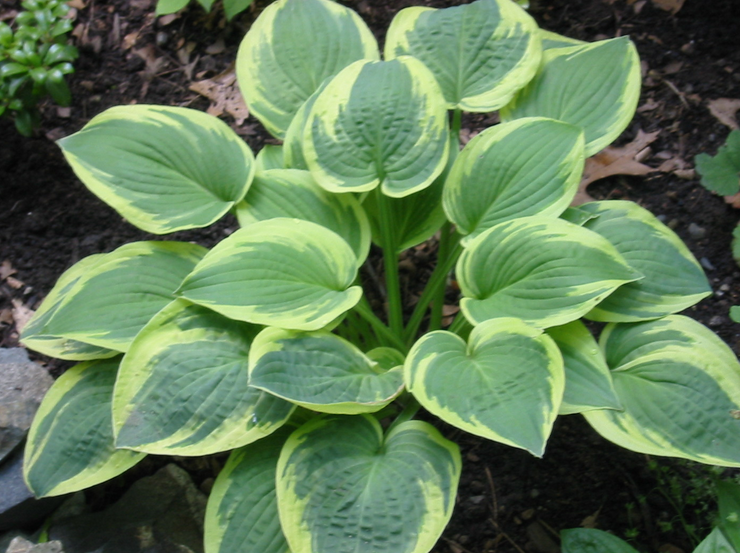 Green thumb secrets eight colorful perennials to fill in those hosta perennials are an excellent way to fill up empty garden space they come back every year mightylinksfo